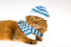 Somali cat wearing knitted hat on white background. Show champion Somali cat wearing white and blue hat, on white background stock images