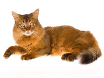 Somali cat on white background. Show champion Somali cat on white background stock image