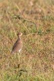 Somali courser wader bird Royalty Free Stock Image