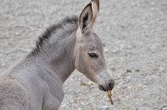 Somali foal eating leaf Stock Photos