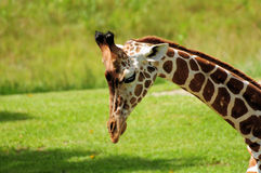 Somali Giraffe. Or more commonly known as Reticulated Giraffe photographed in a South Florida zoo stock photo