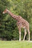 Somali giraffe. The somali giraffe in the grassland Royalty Free Stock Photos
