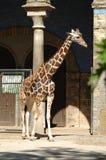 Somali Giraffe. Netzgiraffe (Somaligiraffe) in front of a huge tall building Royalty Free Stock Photography