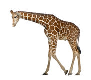 Somali Giraffe Royalty Free Stock Photography