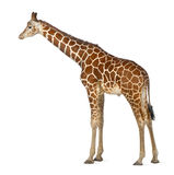 Somali Giraffe. Commonly known as Reticulated Giraffe, Giraffa camelopardalis reticulata, 2 and a half years old standing against white background Royalty Free Stock Photos