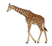 Somali Giraffe. Commonly known as Reticulated Giraffe, Giraffa camelopardalis reticulata, 2 and a half years old walking against white background Stock Photos