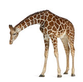 Somali Giraffe royalty free stock photo
