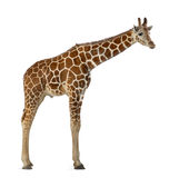 Somali Giraffe. Commonly known as Reticulated Giraffe, Giraffa camelopardalis reticulata, 2 and a half years old standing against white background Royalty Free Stock Photography
