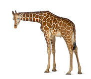 Somali Giraffe. Commonly known as Reticulated Giraffe, Giraffa camelopardalis reticulata, 2 and a half years old standing against white background Stock Images