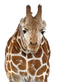 Somali Giraffe. Commonly known as Reticulated Giraffe, Giraffa camelopardalis reticulata, 2 and a half years old standing against white background Stock Photos
