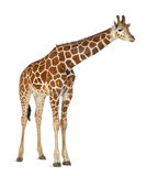 Somali Giraffe. Commonly known as Reticulated Giraffe, Giraffa camelopardalis reticulata, 2 and a half years old standing against white background Stock Photography