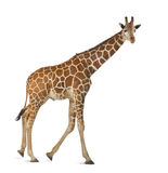 Somali Giraffe. Commonly known as Reticulated Giraffe, Giraffa camelopardalis reticulata, 2 and a half years old walking against white background Stock Photo