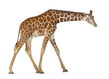 Somali Giraffe. Commonly known as Reticulated Giraffe, Giraffa camelopardalis reticulata, 2 and a half years old walking against white background Stock Photography