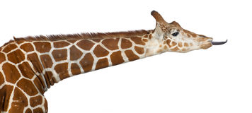 Somali Giraffe Royalty Free Stock Photo