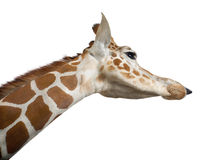 Somali Giraffe. Commonly known as Reticulated Giraffe, Giraffa camelopardalis reticulata, 2 and a half years old close up against white background Stock Photos