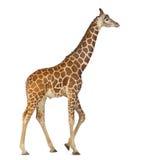 Somali Giraffe Stock Images