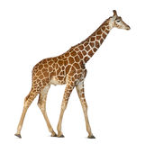 Somali Giraffe. Commonly known as Reticulated Giraffe, Giraffa camelopardalis reticulata, 2 and a half years old walking against white background Royalty Free Stock Photos