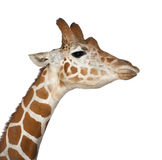 Somali Giraffe. Commonly known as Reticulated Giraffe, Giraffa camelopardalis reticulata, 2 and a half years old close up against white background Stock Image