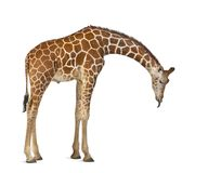 Somali Giraffe, commonly known as Reticulated Giraffe, Giraffa c. Amelopardalis reticulata, 2 and a half years old standing against white background Royalty Free Stock Image