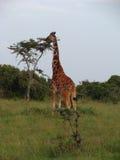 Somali giraffe eating Stock Photography
