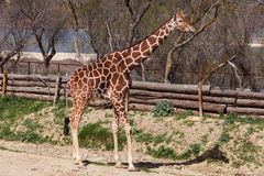 Somali giraffe Royalty Free Stock Photos