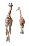 Somali Giraffe young couple cutout Royalty Free Stock Photos