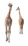 Somali Giraffe young couple cutout royalty free stock photos