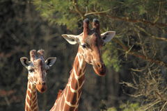Somali giraffes. The detail of upper body of couple of somali giraffes Royalty Free Stock Images