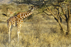Somali Giraffes feeding in bush. Pair of Reticulated  Giraffes ( Giraffa Camelopardalis reticulata) eating acacia leaves  in Samburu  National Reserve, Kenya Stock Photography