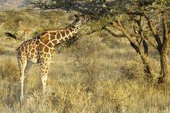 Somali Giraffes feeding in bush Stock Photography