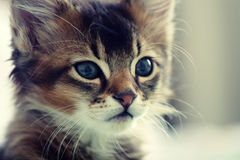 Somali kitten Royalty Free Stock Image