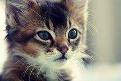 Somali kitten. Portrait of ruddy Somali kitten royalty free stock image