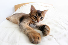 Somali kitten. Funny Portrait of ruddy Somali kitten Royalty Free Stock Photo