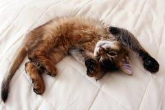 Somali kitten. Funny Portrait of ruddy Somali kitten stock images
