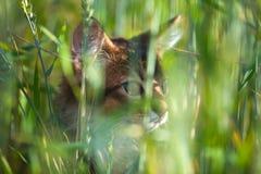 Somali kitten. On summer wheat field Stock Photos