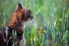 Somali kitten. On summer wheat field Royalty Free Stock Photo