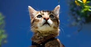 Somali kitten. On blue sky background Royalty Free Stock Photos
