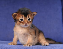 Somali kitten one month sits on sofa Royalty Free Stock Photography