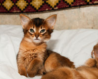 Somali kitten portrait. Sits on white bed and looking at camera Royalty Free Stock Image