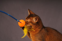 Somali kitten ruddy color Stock Image
