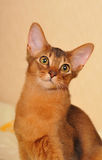 Somali kitten ruddy color portrait. Closeup. Big ears and clever look of purebred cat royalty free stock images