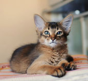 Somali kitten ruddy color. Portrait loking at camera stock images