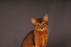 Somali kitten ruddy color. Portrait looking at camera Royalty Free Stock Photos