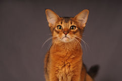 Somali kitten ruddy color. Portrait looking at camera Stock Photos