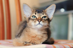 Somali kitten ruddy color portrait. Lying on the chair Royalty Free Stock Image