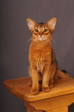 Somali kitten ruddy color. Sitting on wooden chair Royalty Free Stock Image