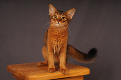 Somali kitten ruddy color. Sitting on wooden chair royalty free stock photo
