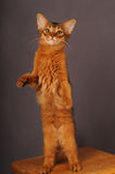 Somali kitten ruddy color. Standing on two legs Stock Photography