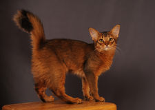 Somali kitten ruddy color. Standing on wooden chair Stock Images