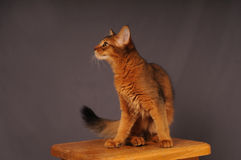 Somali kitten ruddy color. Standing on wooden chair Royalty Free Stock Images